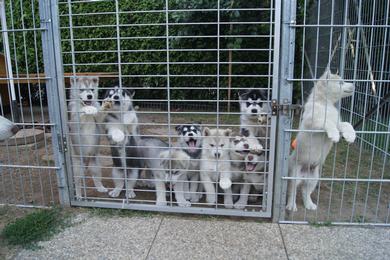 Husky welpen züchter österreich